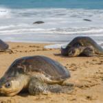 Preservación de la Tortuga Golfina en costas de Oaxaca