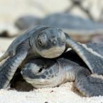 La Armada de México comprometida con la preservación del medio ambiente marino ha recolectado más de 5 mil huevos de tortuga en el presente año